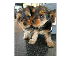 Awesome T-Cup Yorkshire terrier  Puppies Available