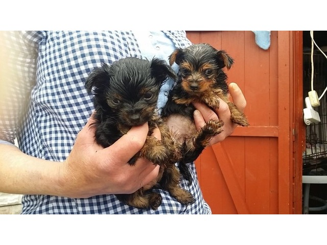 Charming Teacup Yorkie Puppies. | free-classifieds-usa.com