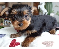 Douglas is an Awesome Yorkie for Adoption