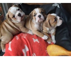 Wondrous English Bulldog puppies for sale