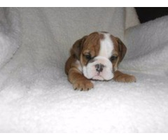 Rare English Bulldog Puppies