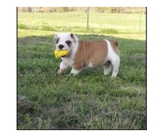 Healthy English bulldog puppies available