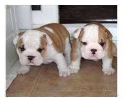 Delighted AKC English Bulldog puppies