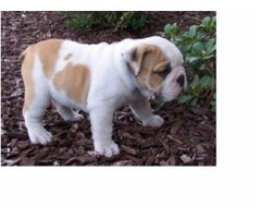 AKC Healthy English bulldog puppies for sale
