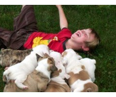 Potty Trained English Bulldog Puppies