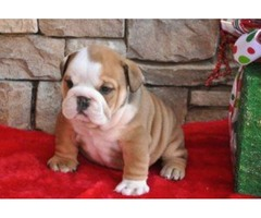 Loving and caring English Bulldog puppies