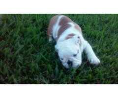 Cute Lovely English Bulldog Puppies For Sale
