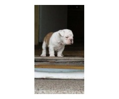 Adorable AKC English Bulldog Puppy