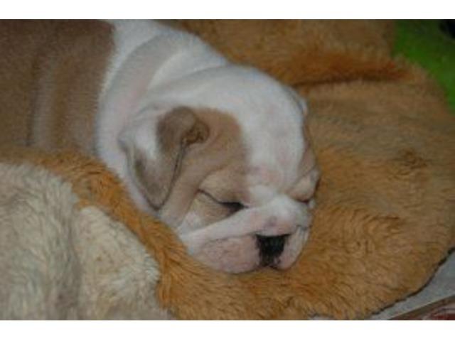 Quality AKC English Bulldog Puppy | free-classifieds-usa.com