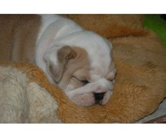 Quality AKC English Bulldog Puppy