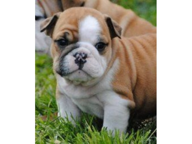 gorgeous english bulldog puppies available animals baltimoregorgeous english bulldog puppies available