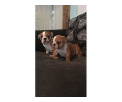 Beautiful English Bulldog puppies with papers