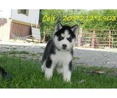 energetic Siberian husky pups,