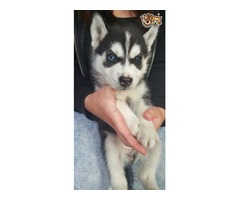 Pedigree Siberian Husky PuppiesTop quality litter of pups