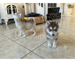 pedigree siberian husky puppies *205*212*1903*