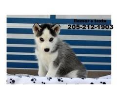 Available Siberian husky puppies