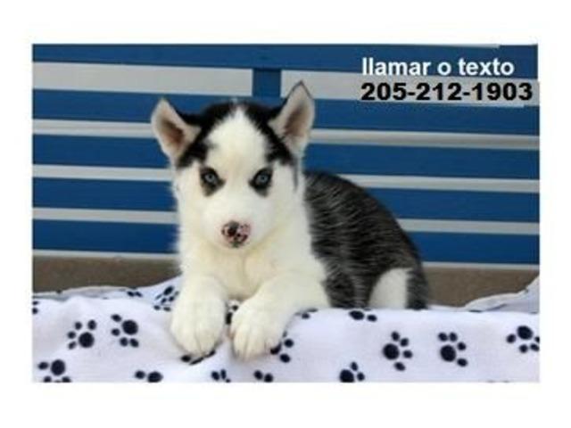 Beautiful siberian husky puppies | free-classifieds-usa.com