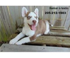 Siberian Husky Puppies ...