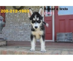 Fabulous Blue Eyes Siberian Husky Puppies Available