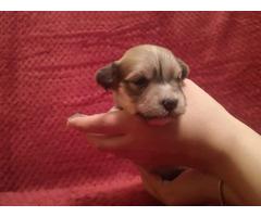 Havanese bichon puppies | free-classifieds-usa.com