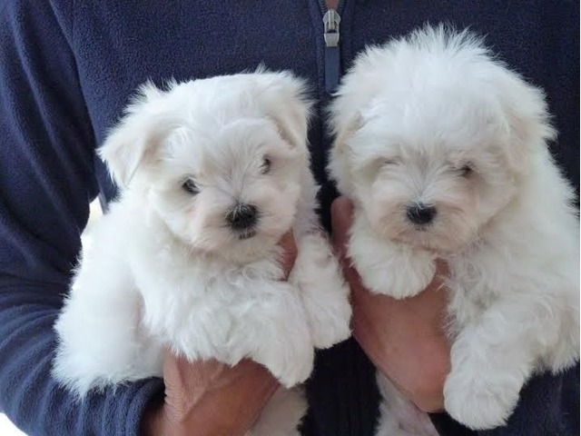 maltese puppies for sale in sc two teacup maltese puppies needs a new family animals 3919