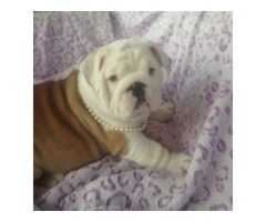 Home Raised English Bulldog Puppies Available