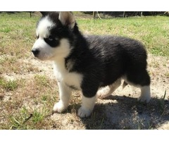 Cute Siberian husky puppies  for Rehoming