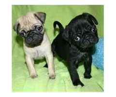 Sweet Pug puppies Ready for re homing