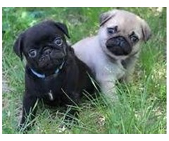 Stunning litter of fawn with black mask pug puppies