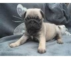 Male & Female Pug Puppies available.