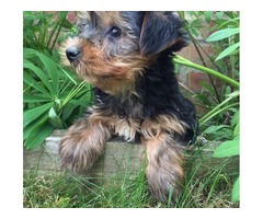 CUTE Yorkshir Terrier Puppiess