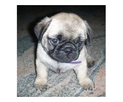 AdM-admirable Ab-able Akc Reg Pug Puppies Avail.Fawn