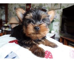 Super Adorable Yorkshire terrier Puppies
