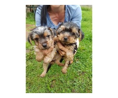 Top Class Yorkshire  Puppies Available