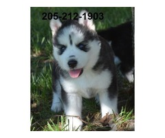 Nice husky puppy for sale