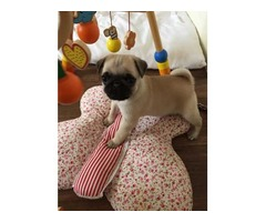 Gorgeous Pug Puppy Available