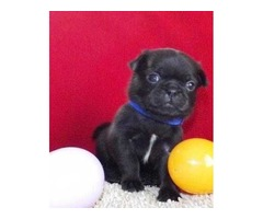 Affordable Pug Puppies