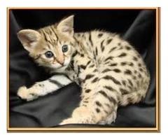 Angelic F1 Savannah Kittens available