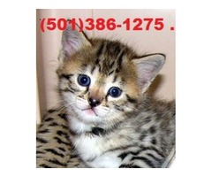 Registered Savannah Kittens available