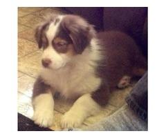 AKC Australian Shepherd puppies! for adoption (213) 263-7104