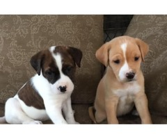 Two adorable Boxer puppies for adoption