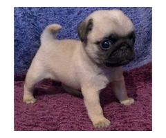 Awesome Pug Puppies