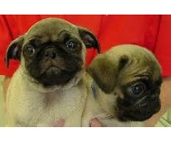 Beauty and well train pug pups for adoption