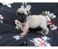 11 weeks old Pug puppies avilable