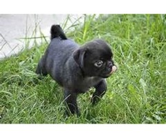 Awasume Dinadage male and female Pug puppies ready