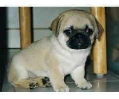 Adorable male and female pug ready now