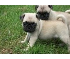 available pugs ready for sale