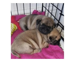 great male and female pug ready