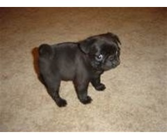 gentle male and female pug ready