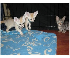 Gorgeous Fennec Fox Kits For adoption..